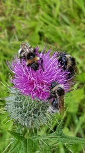 BeesOnThistle-LHudson